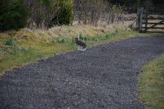Ein junger Hase wird durch ein Hermelin bedrängt Lizenzfreies Stockbild