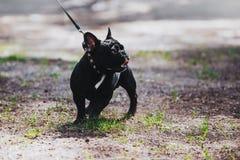 Ein junger Hund der Zucht ist eine französische Bulldogge auf einer Leine Porträt eines vollblütigen Hundes Lizenzfreie Stockbilder