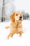 Ein junger Hund des goldenen Apportierhunds, der im Schnee niederlegt Lizenzfreies Stockbild