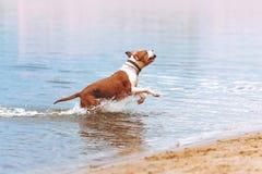 Ein junger Hund des Zucht American Staffordshire Terriers läuft mit einem Stock in seinen Zähnen im Wasser lizenzfreie stockfotografie