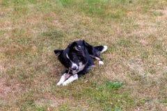 Ein junger Hund kaut einen Stock auf dem Rasen stockfoto