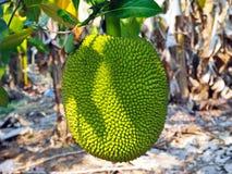 Ein junger Jackfruit im Garten Stockbilder