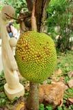 Ein junger Jackfruitbaum Stockbilder