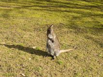 Ein junger Känguru Stockbilder