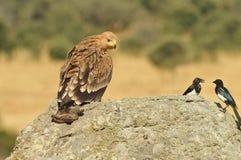 Ein junger Kaiseradler auf dem Felsen Stockbild