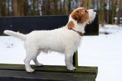 Ein junger kleiner weißer Hund Jack Russell Terrier wirft für ein Bild auf einer Bank in einem Winterpark auf stockfotografie