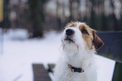Ein junger kleiner weißer Hund Jack Russell Terrier wirft für ein Bild auf einer Bank in einem Winterpark auf stockbilder