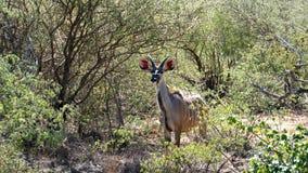 Ein junger kudu Dollar Stockfotografie