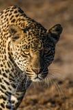 Ein junger männlicher Leopard angepirscht in Richtung zu uns Stockfoto