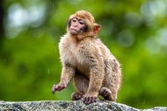 Ein junger Macaca sylvanus Affe im Regen stockbilder