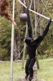 Ein junger Orang-Utan erreicht heraus zu einem Siamang Stockbild