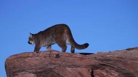 Ein junger Puma schaut unten von der Spitze eines Flusssteins stock footage