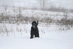 Ein junger Riesenschnauzer steht auf einem Gebiet im Winter Sie ist angespannte Stellung und Blicke am Fotografen stockfoto
