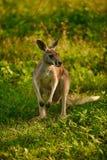 Ein junger roter australischer Känguru sitzt auf einem grünen Rasen stockfotografie