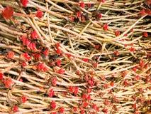Ein junger roter Sprössling mit einem Bratenfetttautropfen ist auf der Grundnatur, Nahaufnahme Succulentblume stockfotografie