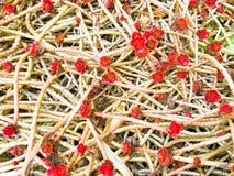 Ein junger roter Sprössling mit einem Bratenfetttautropfen ist auf der Grundnatur, Nahaufnahme Succulentblume stockbild