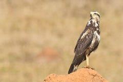 Ein junger Savannen-Falke (Heterospizias-meridionalis) stillstehend auf ter Lizenzfreie Stockfotografie