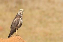 Ein junger Savannen-Falke (Heterospizias-meridionalis) stillstehend auf ter Stockfotografie