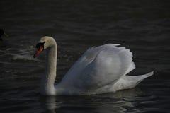 Ein junger Schwan schwimmt ruhig auf dem Wasser lizenzfreies stockfoto