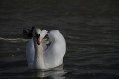 Ein junger Schwan schwimmt ruhig auf dem Wasser stockbild