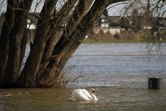 Ein junger Schwan schwimmt ruhig auf dem Wasser stockfotos