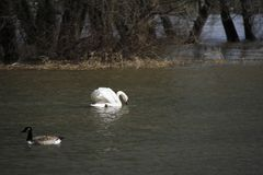 Ein junger Schwan schwimmt ruhig auf dem Wasser stockfoto