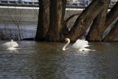 Ein junger Schwan schwimmt ruhig auf dem Wasser lizenzfreie stockfotos