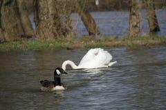 Ein junger Schwan schwimmt ruhig auf dem Wasser lizenzfreie stockfotografie