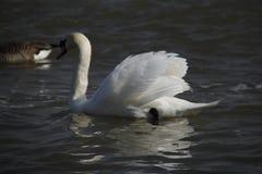 Ein junger Schwan schwimmt ruhig auf dem Wasser stockbilder
