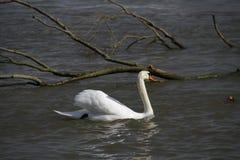 Ein junger Schwan schwimmt ruhig auf dem Wasser lizenzfreies stockbild