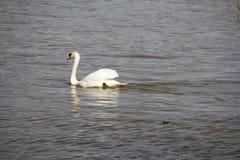 Ein junger Schwan schwimmt ruhig auf dem Wasser stockfotografie