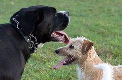 Ein junger, spielerischer Hund-Jack Russell-Terrier lässt Wiese im Herbst mit einem anderen großen schwarzen Hund laufen Lizenzfreies Stockbild