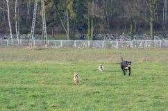 Ein junger, spielerischer Hund-Jack Russell-Terrier lässt Wiese im Herbst mit einem anderen großen schwarzen Hund laufen Lizenzfreie Stockbilder
