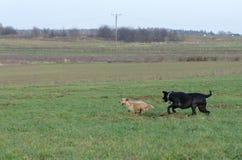 Ein junger, spielerischer Hund-Jack Russell-Terrier lässt Wiese im Herbst mit einem anderen großen schwarzen Hund laufen Stockfotografie