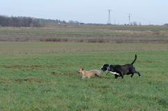 Ein junger, spielerischer Hund-Jack Russell-Terrier lässt Wiese im Herbst mit einem anderen großen schwarzen Hund laufen Stockfotos