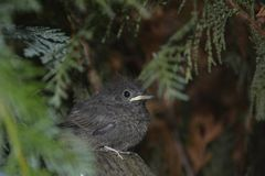 Ein junger Vogel des schwarzen Rotschwänzchens sitzt auf Niederlassung in einer Hecke lizenzfreie stockfotos