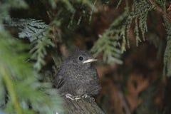 Ein junger Vogel des schwarzen Rotschwänzchens sitzt auf Niederlassung in einer Hecke stockfoto