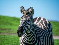 Ein junger Zebraalarm und vorwärts schauen lizenzfreie stockfotografie