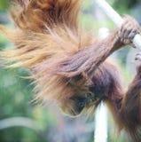 Ein junger Zoo-Orang-Utan hängt von einem Seil Stockbild