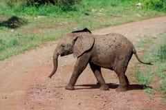 Ein junges Afrikaner-Bush-Elefantenkalb, welches die Straße kreuzt lizenzfreie stockfotos