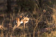 Ein junges Antilopenanstarren stockfotografie