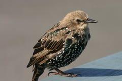 Ein junges buntes Starling Stockbilder