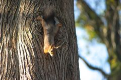 Ein junges Eichhörnchen sitzt auf einem Baum und schaut umgedreht Lizenzfreies Stockbild