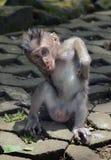 Ein Junges eines grauen Makakens, der auf der Straße sitzt und sein b verkratzt Lizenzfreies Stockbild