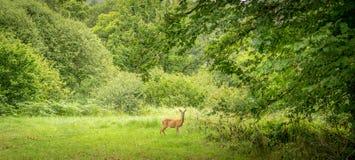 Ein junges einziges Rotwild ungefähr, zum eines Waldes zu betreten lizenzfreie stockfotografie