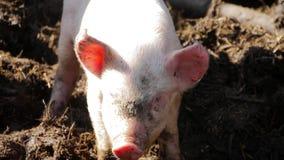 Ein junges Ferkel auf Heu und Stroh an der Schweinezucht bewirtschaften Glückliche Schweine auf Schweinezuchtbetrieb Hausschweine stock video footage