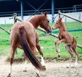 Ein junges Fohlen und ihr Mutterspielen stockbild