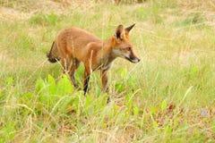 Ein junges Fuchsjunges nimmt sein erstes Abenteuer stockfotografie