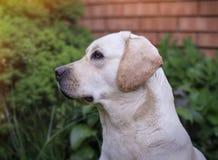 Ein junges gelbes Labrador, das auf einem Rasen sitzt und weg schaut Schöne helle goldene Labrador-Nahaufnahme, die glücklich auf Stockfotografie