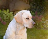 Ein junges gelbes Labrador, das auf einem Rasen sitzt und weg schaut Schöne helle goldene Labrador-Nahaufnahme, die glücklich auf Stockfotos